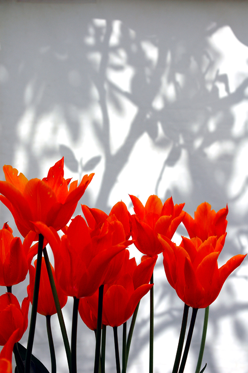 TULIPS & SHADOWS
