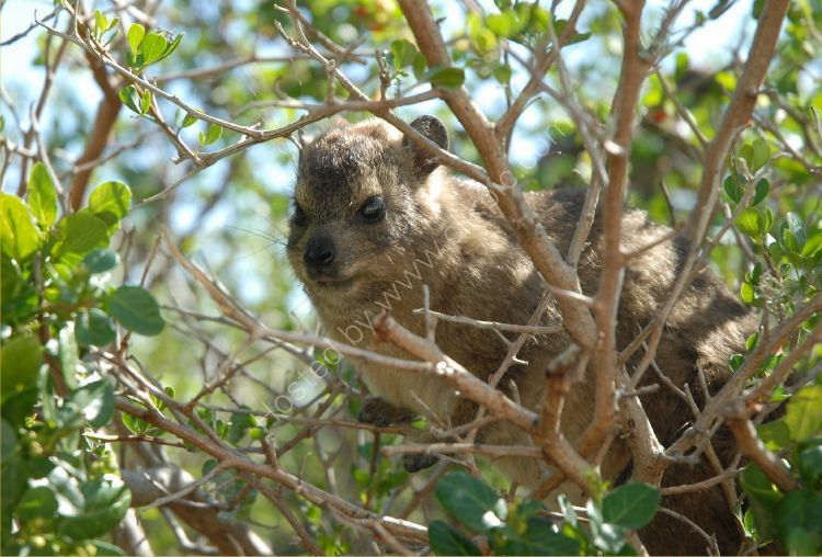 Animal - Badger - Rock Hyrax or Rock Badger (Procavia capensis) - Also called the Cape Hyrax