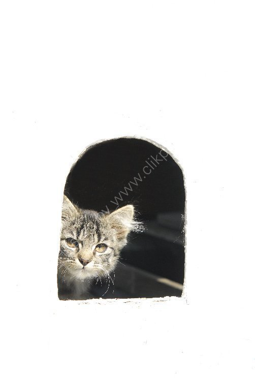 Animal - Cat (Felis catus) - Cat in a Flap