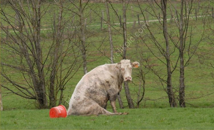 Animal - Cow (Bos taurus) - Belgian Cow - Crying over spilt milk