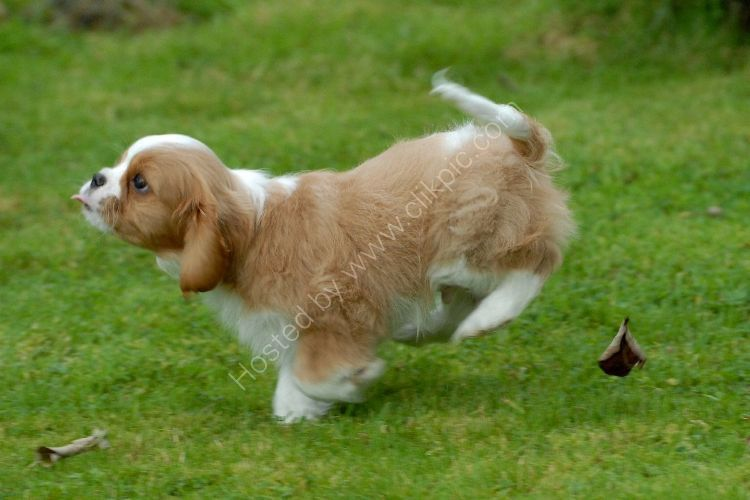Animal - Dog (Canis lupus familiaris) - Cavalier puppy under heavy braking
