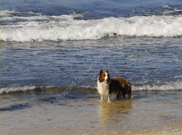 Animal - Dog (Canis lupus familiaris) - Collie in the surf