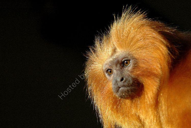 Animal - Golden Lion Tamarin Monkey (Leontopithecus rosalia)