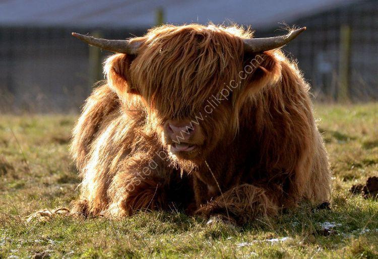 Animal - Highland Cow (Kyloe) - Resting