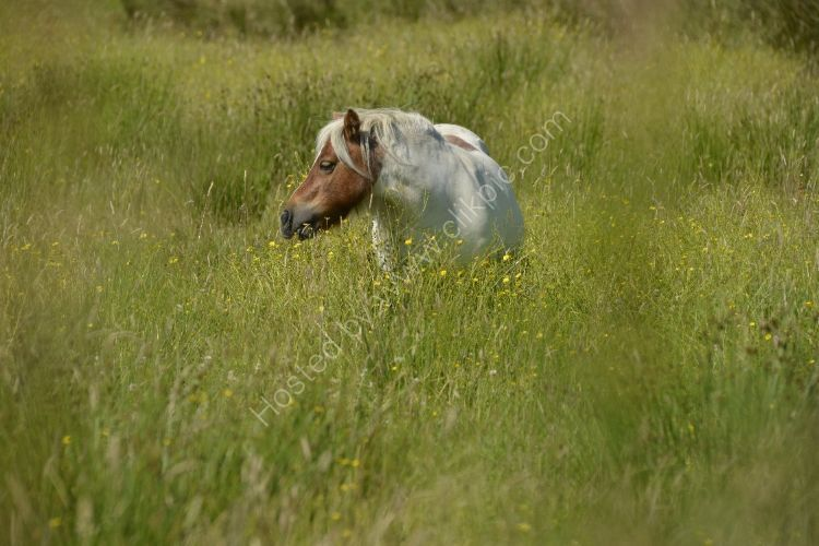 Animal - Horse (Equus ferus caballus) - Shetland Pony looking for shorter grass...