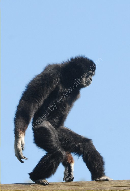 Animal - Monkey (Colobus guereza) - Monkey Walk