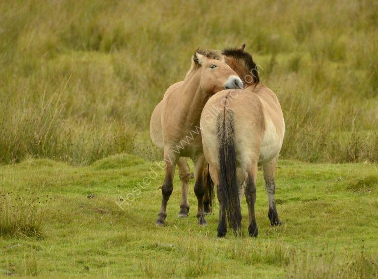 Animal - Przewalskii Horse (Equus ferus przewalskii) - You scratch my back and I'll scratch yours