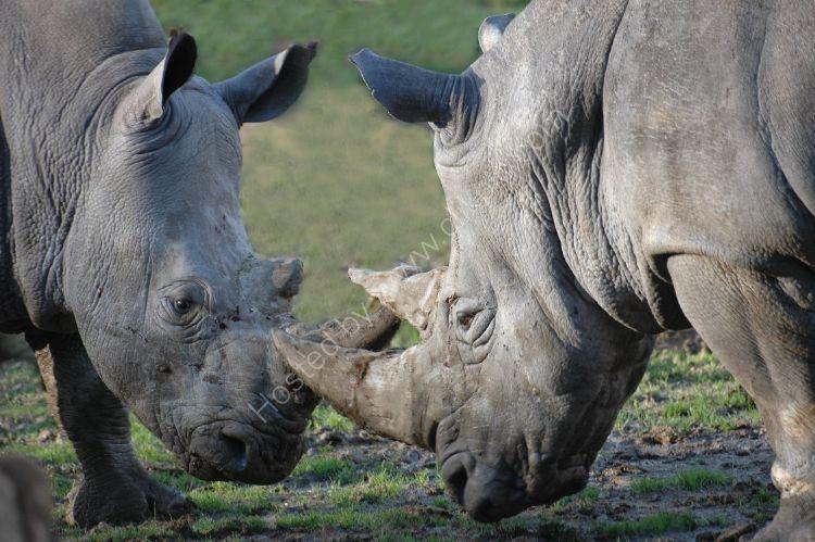 Animal - Rhinoceros (Rhinocerotidae) - Seeing eye to eye