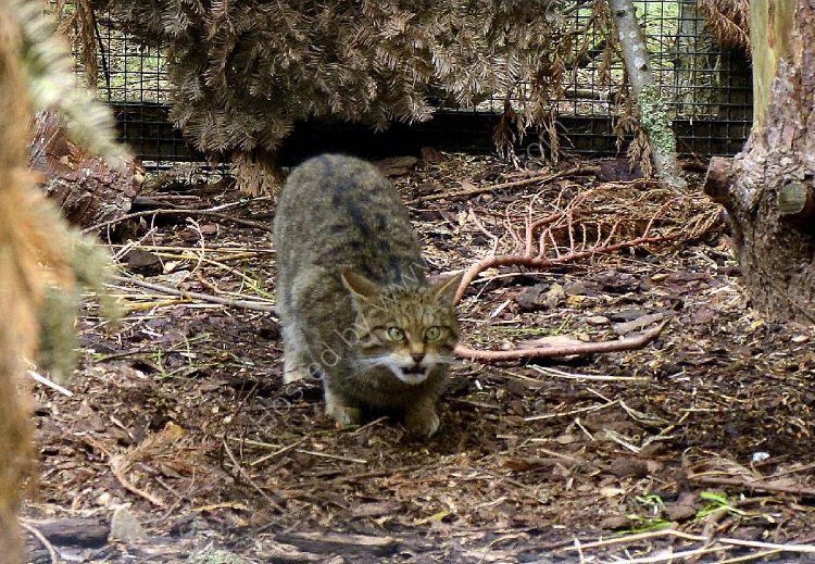 Animal - Scottish Wildcat (Felis silvestris)