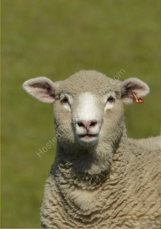Animal - Sheep (Ovis aries) - Curious Sheep