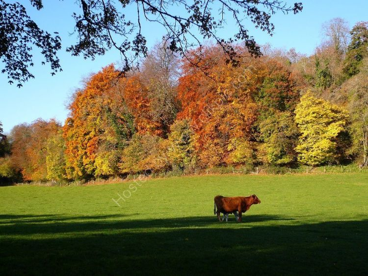 Autumn - Cow and Calf