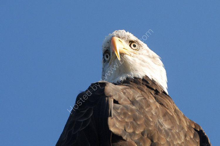 Bird - American Bald Eagle (Haliaeetus leucocephalus)
