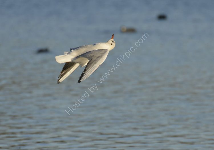 Bird - Common Gull (Larus canus) in winter plumage - Acrobatics