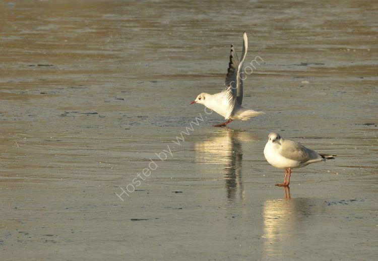 Bird - Common Gull (Larus canus) in winter plumage - Acrobatics do not impress the other gull
