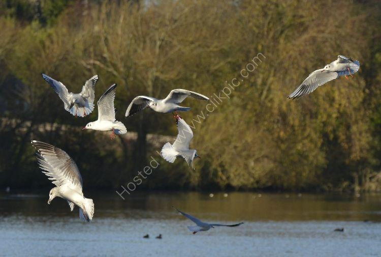 Bird - Common Gull (Larus canus) in winter plumage - Aerial Ballet