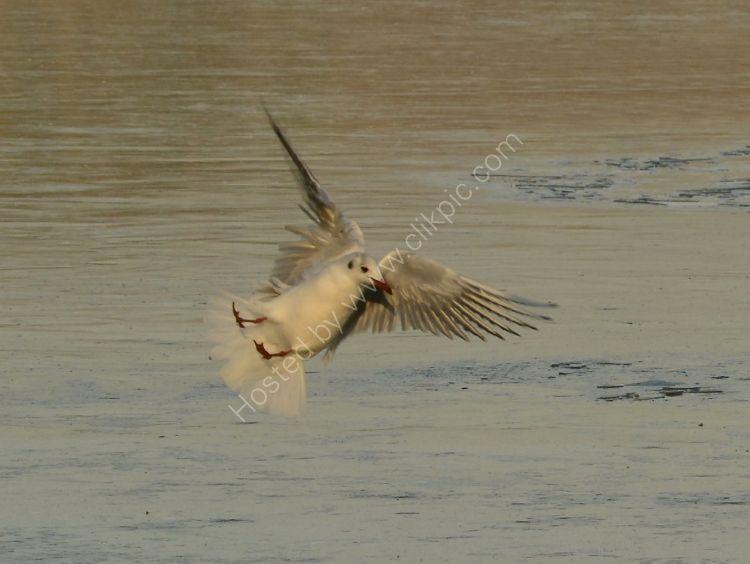 Bird - Common Gull (Larus canus) in winter plumage - Air Brake Acrobatics