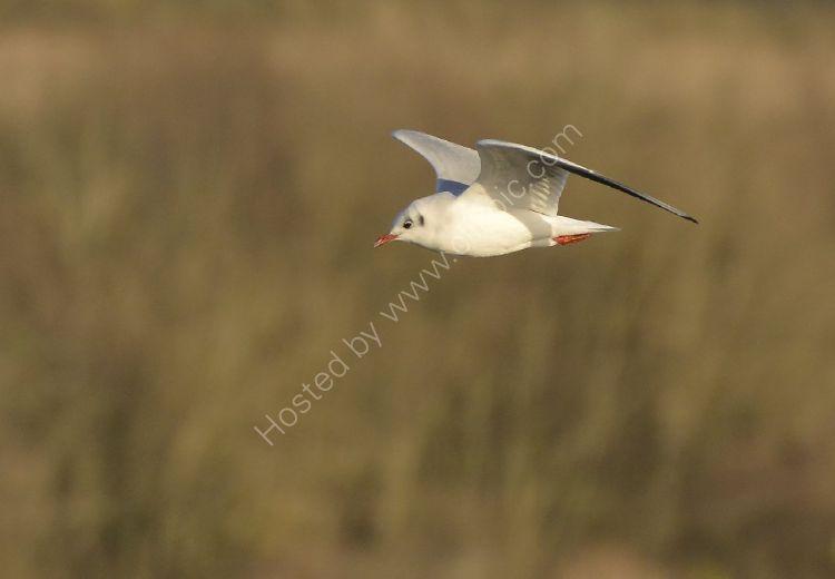 Bird - Common Gull (Larus canus) in winter plumage - Angel Wings