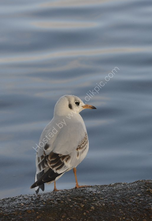 Bird - Common Gull (Larus canus) in winter plumage - At the edge of the loch