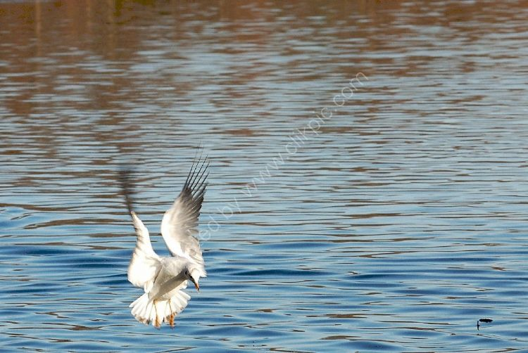 Bird - Common Gull (Larus canus) in winter plumage - Dropping In