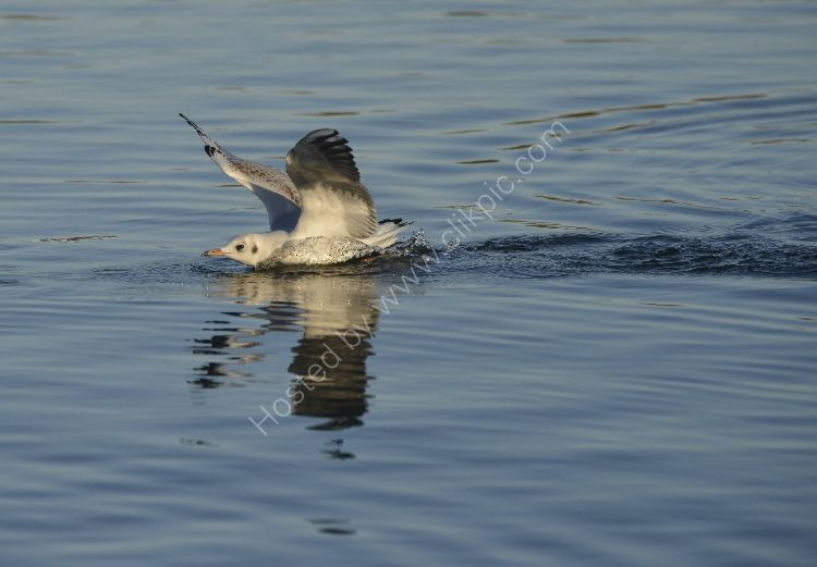 Bird - Common Gull (Larus canus) in winter plumage - Heavy Landing