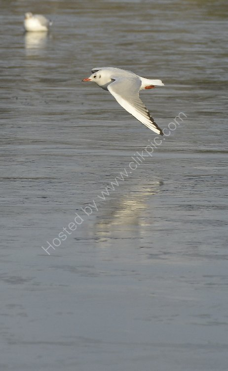 Bird - Common Gull (Larus canus) in winter plumage - Low flying over the ice