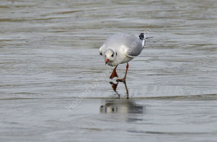 Bird - Common Gull (Larus canus) in winter plumage - Ouch, it's cold on the feet