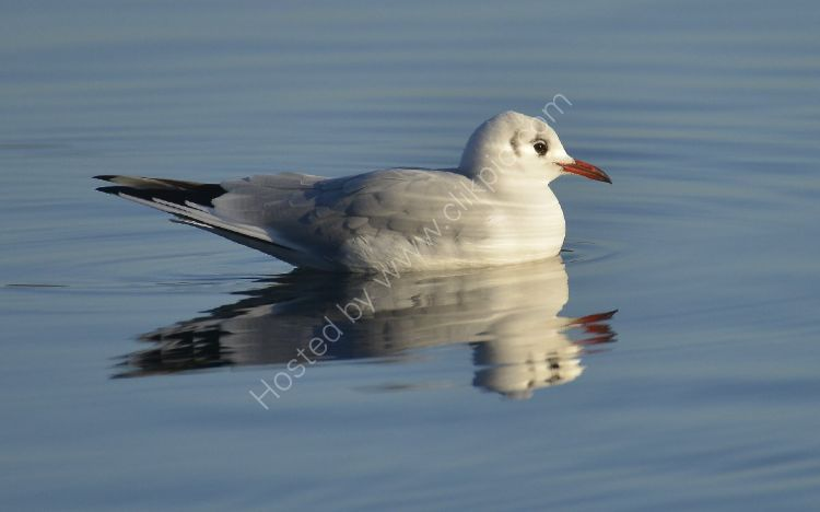 Bird - Common Gull (Larus canus) in winter plumage - Seagull Serenity