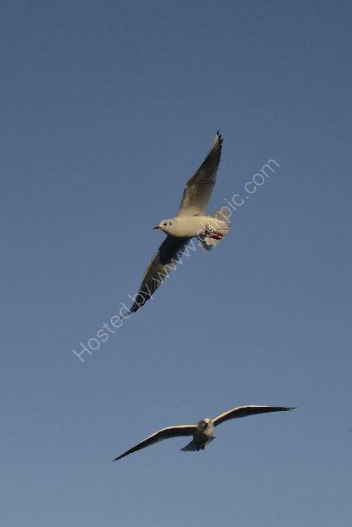 Bird - Common Gull (Larus canus) in winter plumage - Seagulls High
