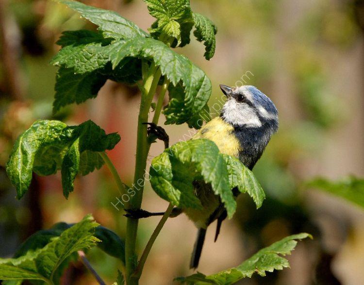 Bird - Blue Tit (Parus caeruleus) - At the Blackberry Bush