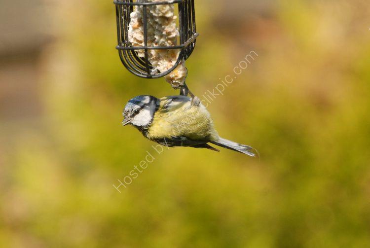 Bird - Blue Tit (Parus caeruleus) - Hanging Around