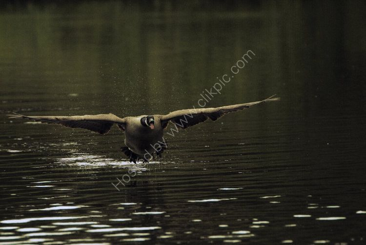 Bird - Canada Goose (Branta canadensis) - The Dambuster