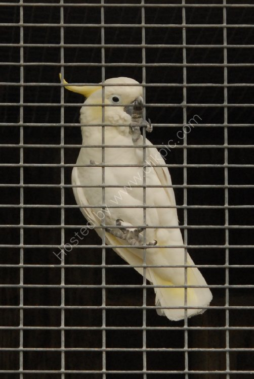 Bird - Citron-Crested Cockatoo (Cacatua sulphurea citrinocristata) - Bird in a Guilded Cage