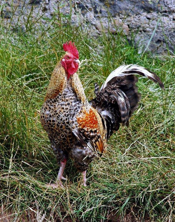 Bird - Cockerel (Gallus gallus) - Cock o' the North