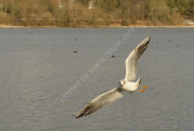 Bird - Common Gull (Larus canus) - Aerobatic Flyer