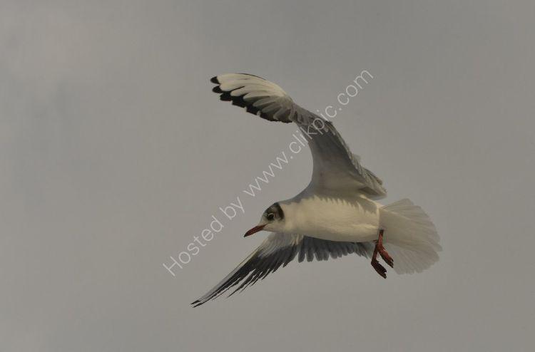 Bird - Common Gull (Larus canus) - In Flight
