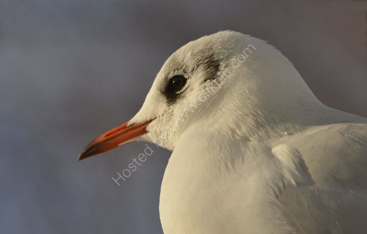 Bird - Common Gull (Larus canus) - It's a shame they are so greedy ...