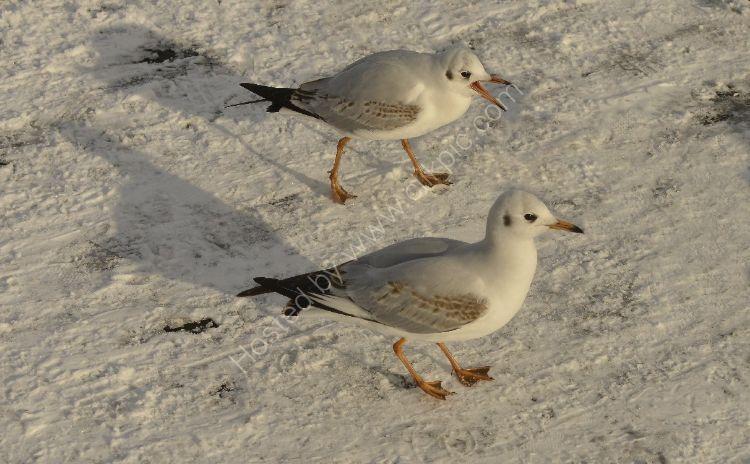 Bird - Common Gull (Larus canus) - Nag, nag nag nag nag.....