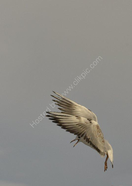 Bird - Common Gull (Larus canus) - Parachuting