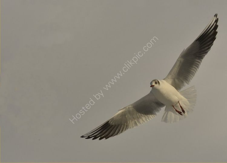 Bird - Common Gull (Larus canus) - The Graceful Swoop