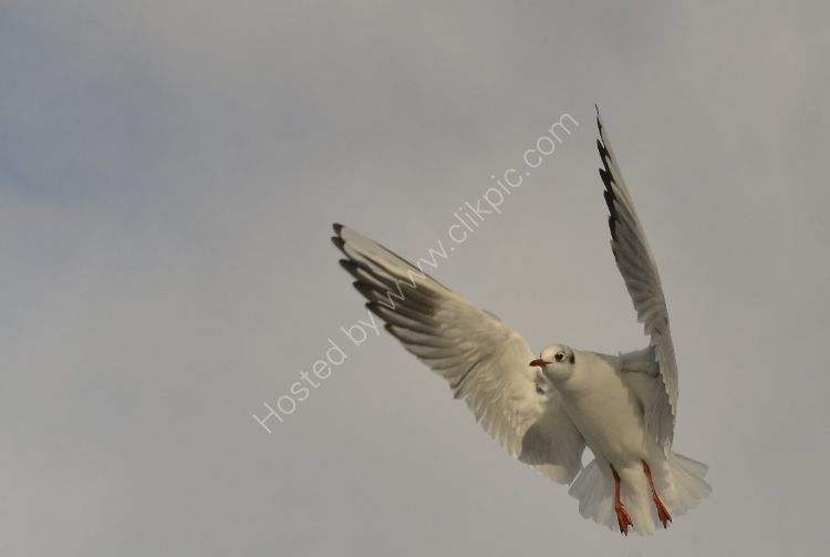 Bird - Common Gull (Larus canus) - Vertical Take Off and Landing