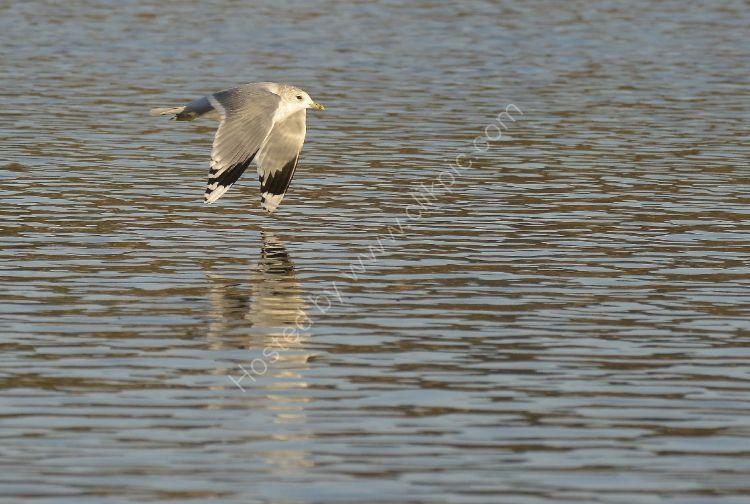 Bird - Common Gull (Larus canus) in winter plumage - Low Flying