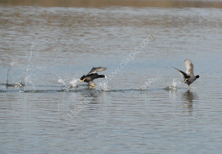 Bird - Coot (Fulica atra) - The Chase at high speed