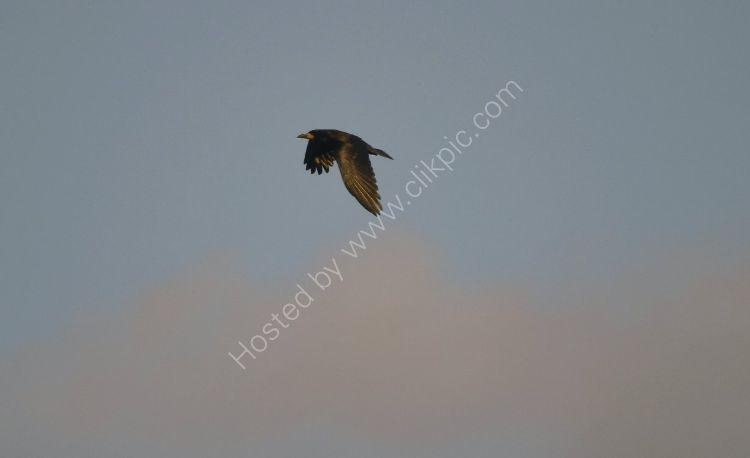Bird - Crow (Corvus) - As the Crow Flies