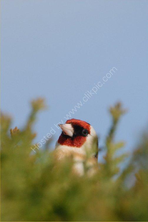 Bird - Goldcrest (Regulus regulus) - Cheeky Chappie