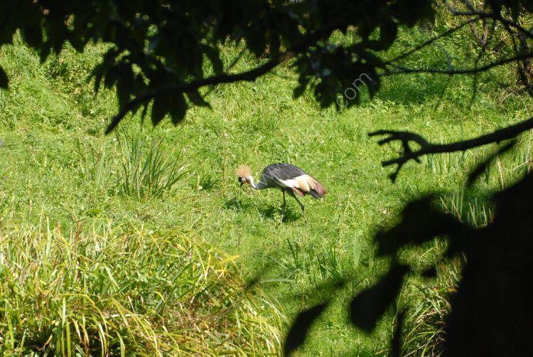 Bird - Grey Crowned Crane (Balearica regulorum) - Still Searching