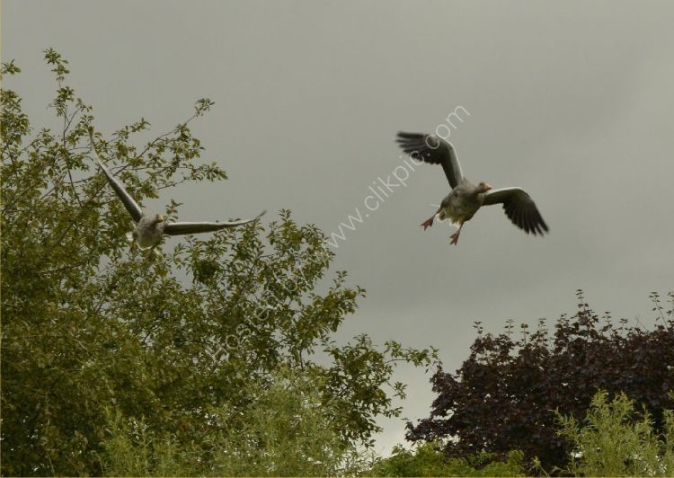 Bird - Greylag Goose (Anser anser) - Heading for Touchdown