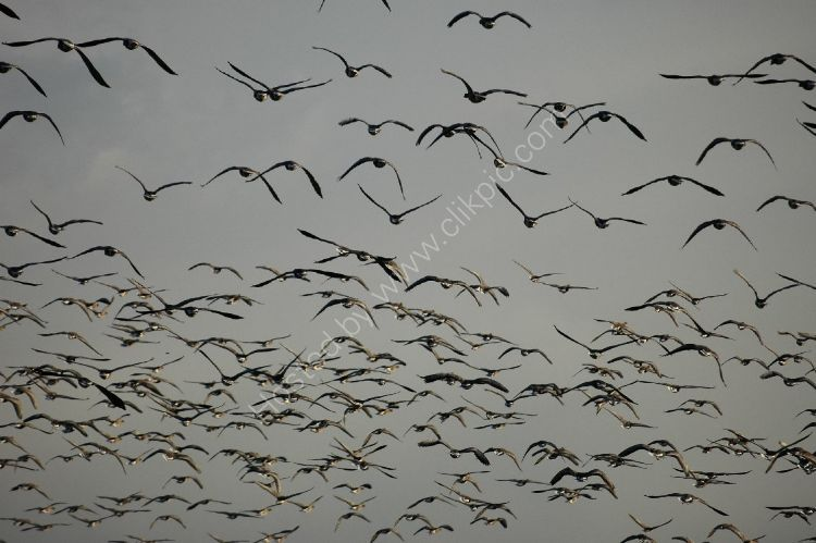 Bird - Greylag Goose (Anser anser) - The Migration