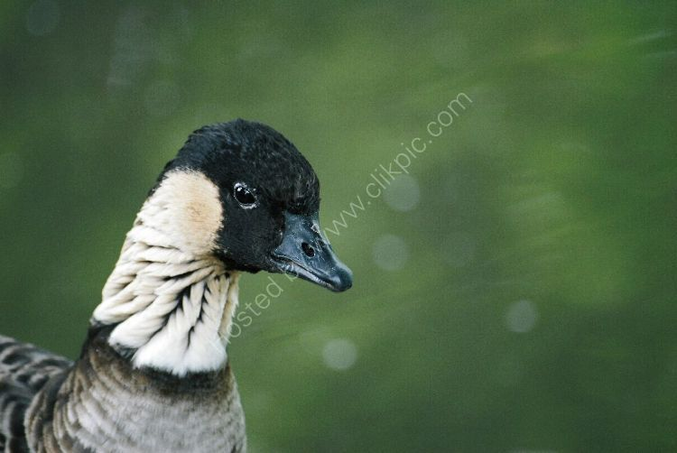 Bird - Hawaiian Goose (Nene) -- (Branta Sandvicensis)
