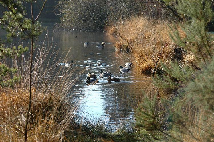 Bird - Mallard Duck (Anas platyrhynchos) - A Moatly Collection