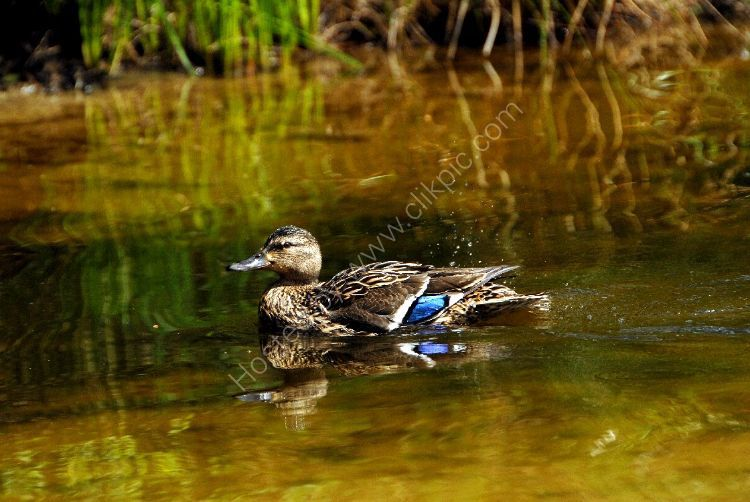 Bird - Mallard Duck (Anas platyrhynchos) - At the Moat